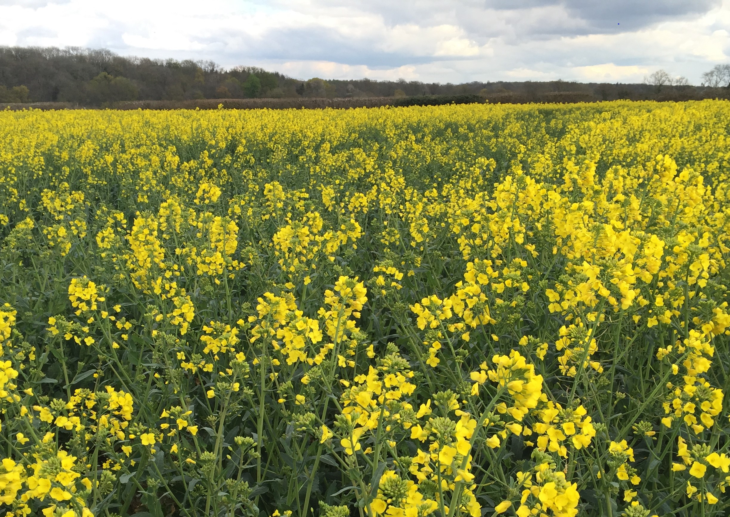 Picture of Rape seed field