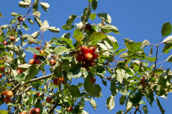 Crab apples on the tree in front of Flaunden Village Hall in autumn